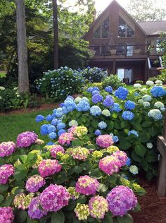 Hostas and Hydrangeas | Fine Gardening