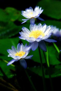 The Pool's Pride by Alexander Boden, blue water lilies