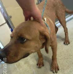 Animal ID35451489  SpeciesDog  BreedRetriever, Labrador/Mix  Age1 year 10 days  GenderMale  SizeSmall  ColorBrown  Spayed/Neutered  SiteDepartment of Animal Services, City of El Paso  LocationKennel A  Intake Date5/24/2017