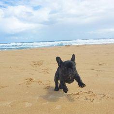 French Bulldog Puppy enjoying a summer romp at the Beach.☀️