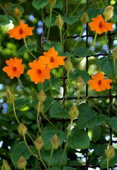Orange Clockvine (Thunbergia gregorii)