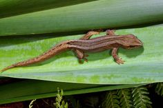 These small geckos are known only in the area from Taranaki to Mana Island near We Lizard Tattoo, Tortoise Turtle, Frog And Toad, Flora And Fauna, Reptiles, Lizards, Geckos, Beautiful Eyes, Small Towns