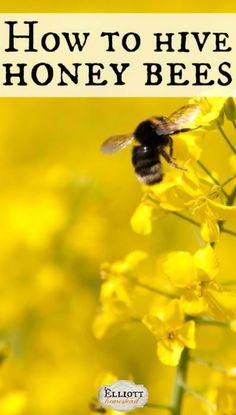How to hive honey bees. #pioneersettler