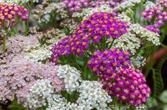 Make your fall landscaping pop with some colorful flowers and shrubs. Read our fall landscaping ideas at Gardener's Path. Perennial Flowering Plants, Herbaceous Perennials, Flowers Perennials, Planting Flowers, Yarrow Plant, Hardy Geranium, Achillea Millefolium, Border Plants, Plant Sale