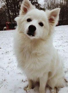 lovel eskimo dog
