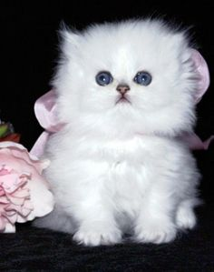 White Persian Kitten! Hoping this to be my next babyyyyy!!! kitty purry<3