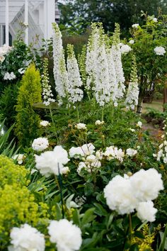 White garden - A vignette of white delphinium stalks, peonies, and roses in the Sissinghurst-style white garden behind the farmhouse on this property about one hour north of Seattle in the Skagit Valley.
