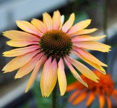 Echinacea Summer Co