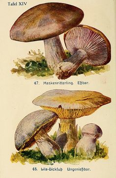 Paperback for mushroom pickers: a guide to knowledge of the most important edible, poisonous and inedible mushrooms under Gegenüberstellung of Doppelgängern / Ernst Walther; with 50 images … and 48 pen and ink drawings by artist Arno Grimm.  Publication info Leipzig: Hesse & Becker, 1918. BHL Collections: New York Botanical Garden