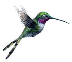 El colibrí maya.