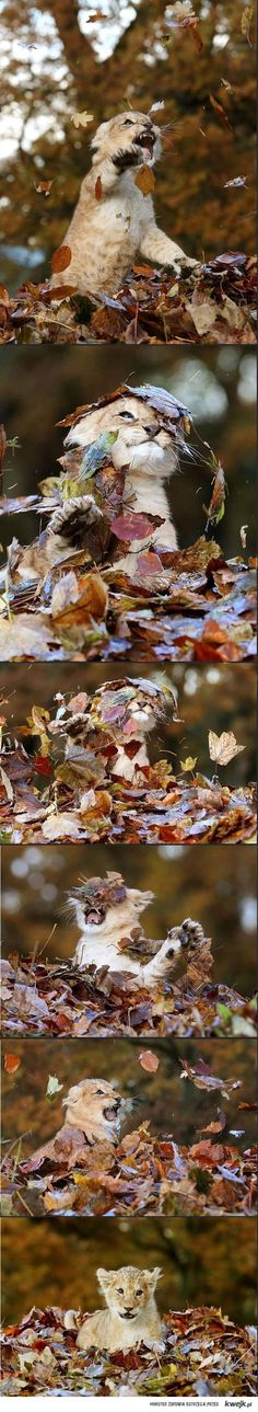 Funny pictures about Tiny Baby Lion Playing With Leaves. Oh, and cool pics about Tiny Baby Lion Playing With Leaves. Also, Tiny Baby Lion Playing With Leaves photos. Animals And Pets, Baby Animals, Funny Animals, Cute Animals, Cute Creatures, Beautiful Creatures, Animals Beautiful, Beautiful Lion, I Love Cats