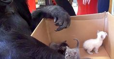 They Gave Koko the Gorilla A Box Of Kittens. Now Watch Her Reaction…It was her 44th birthday, she received the best birthday present ever.