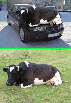 Fake - Cow on the hood of a BMW. - The original image of a cow lying in a field is on the bottom. Link for story. Assume nothing and question everything.