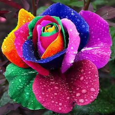 Colorful rose SO beautiful. Who wants red roses for Valentines Day when you can have these.