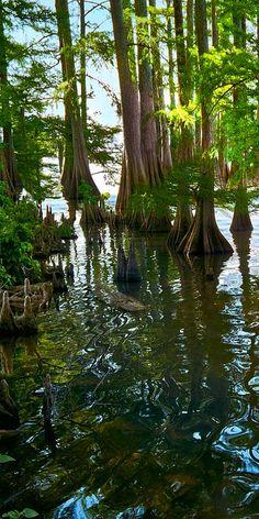 Cypress Trees . Lake Providence, Louisiana