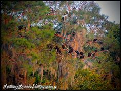 Black Vultures Tenoroc 3.5.15