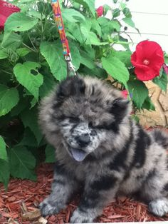 Never in my life have I seen a blue merle chow. It's at least mostly chow, look at that blue tongue!