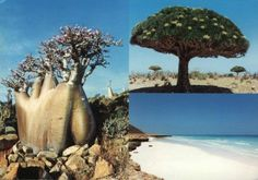 Socotra, a unique island In the Indian Ocean