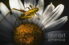 Flora and fauna horizontal close-up on a small green Australian grasshopper standing on the stamen on a yellow daisy flowers. Spring concept by Ryan Jorgensen