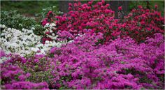 Azalea Garden at New York Botanical Garden