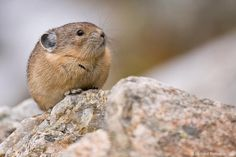 This is a pika
