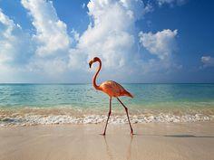 Bayahibe, Dominican Republic - Flamingo walking along beach