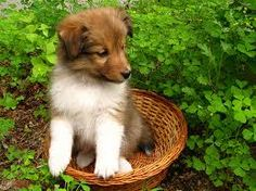 Google Image Result for http://www.officialsheltiepupguide.com/wp-content/uploads/2011/05/cute_sheltie_pup.jpg