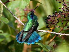 colibri - Google Search