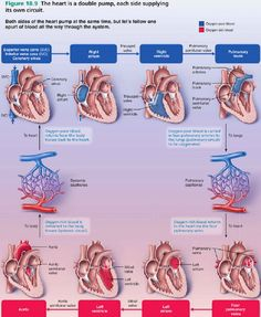 The aorta is the largest artery in the body the aorta begins at the most amazing thorough visual explanation of blood flow through the heart that ccuart Image collections