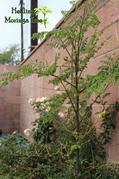 Moringa oleifera! www.HealingMoringaTree.com