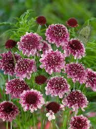 Scabiosa 'Burgundy bonnets' - Skabiosa, farve: mørk pink, lysforhold: sol, højde: 40 cm, blomstring: juni-september.