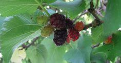 Lange waren Maulbeeren als Obstbäume weit verbreitet, gerieten dann aber in Vergessenheit. Jetzt erleben Baum und Früchte eine Renaissance in unseren Gärten.