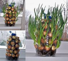Growing onions vertically on the window sill - up-cycling plastic jugs and bottles Indoor Vegetable Gardening, Container Gardening, Organic Gardening, Garden Plants, Indoor Plants, Gardening Tips, Texas Gardening, Potager Garden, Greenhouse Gardening