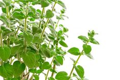 Simple old oregano keeps chickens disease free.....article