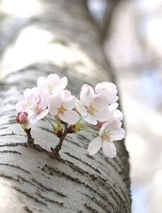 """Apple Blossom : """"The most precious gift we can offer anyone is our attention. When mindfulness embraces those we love, they will bloom like flowers. Beautiful Flowers, Beautiful Pictures, White Flowers, Spring Blossom, Belle Photo, Spring Flowers, Spring Time, Spring Scene, Mother Nature"""