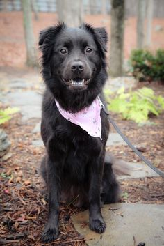 """I only weigh about 48 lbs so I'm the perfect medium sized dog. I am gorgeous & sweet! I am housebroken, and ready to find a forever home!"" Isn't Jalapeño adorable?! She's up for adoption in Charlotte, NC! Check out her page for more information!"