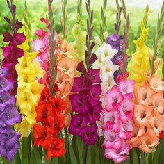 Kraft Seeds Gladiolus Flower Bulbs, Kitchen Garden, Super Size, One Of The Most Popular Flower Bulbs In India, Cut Flower Indoor Outdoor Plants Colourful Multi-coloured 16 Bulbs Gladiolus Wedding Flowers, Birth Flowers, Rare Flowers, Bulb Flowers, Beautiful Flowers, Spring Plants, Spring Flowers, August Birth Flower, August Flowers