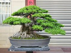 Bonsai Plants, Bonsai Garden, Hydroponic Gardening, Hydroponics, Ficus Microcarpa, Japanese Tea Ceremony, Types Of Plants, Live Plants, Art Of Living
