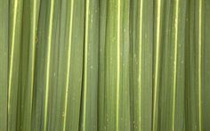 phormium plant has strong strap like leaves and adds drama and architecture to tropical planting