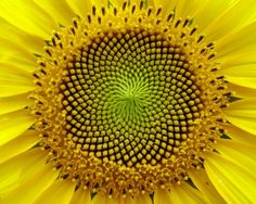 Géométrie de tournesol fleur
