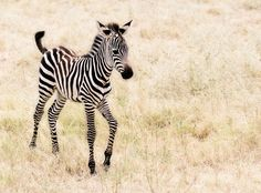 baby zebra ^___^