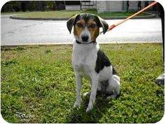 Cincinnati, OH - Beagle/Terrier (Unknown Type, Medium) Mix. Meet Ringo, a dog for adoption. http://www.adoptapet.com/pet/3538850-cincinnati-ohio-beagle-mix