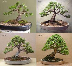 This is a beautiful bonsai jade. Bonsai progress - 5 years in training. Jade Plant Bonsai, Succulent Bonsai, Jade Plants, Bonsai Plants, Bonsai Garden, Juniper Bonsai, Succulents Garden, Cactus Plants, Bonsai Tree Care