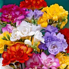 Freesia Bulb Double MixA wide range of colors and an alluring floral fragrance make freesia hard to resist. With up to eight trumpet-shaped, upward-pointing blossoms on leafless stems, freesias make delightful cut flowers that last a long time i. Freesia Flowers, Bulb Flowers, Spring Plants, Spring Bulbs, Spring Garden, Planting Bulbs, Planting Flowers, Flowering Plants, Summer Flowers
