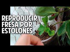 Cultivo de fresas a partir de estolones y un huerto vertical soñado - Parte 4 @cosasdeljardin - YouTube