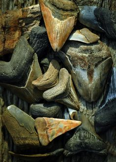 Megalodon Teeth Photograph.  Fossil shark teeth found in Calvert County, Maryland by the Chesapeake Bay. Choptank Formation, Middle Miocene. Private collection. Prints available.