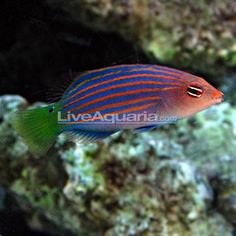Six Line Wrasse (fun to watch)