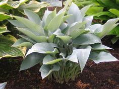 'October Sky' Hosta (small to medium) I love uprights! Vase-shaped clump with powder-blue on both the top and bottom of the foliage blends the best of 'Frosted Dimples' and 'Salute'. Leaves hold their color until October's frost in Minnesota. Near-white flowers in August.