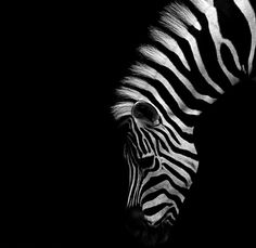 """Zebra WHY IS THE ZEBRA OUR MASCOT? In medical school, doctors are taught """"when hearing hoofbeats, think horses, not zebras."""" Carcinoid Cancer & Neuroendocrine Tumors has been thought of as 'rare'and therefore may be considered a zebra. Wildlife Photography, Animal Photography, Beautiful Creatures, Animals Beautiful, Animals And Pets, Cute Animals, Wild Animals, Foto Poster, Tier Fotos"""