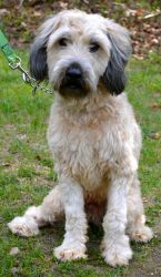 --Hayden is an adoptable Wheaten Terrier Dog in Spring Lake, NJ. Are you of Irish descent